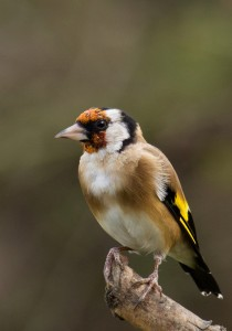 Goldfinch Photo by Su Haselton