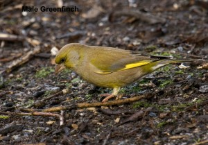 Male Greenfinch Photo by Su Haselton