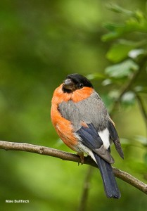 Male Bullfinch Photo by Su Haselton