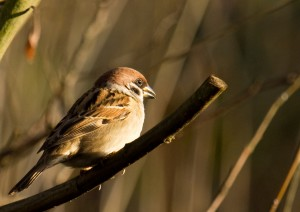 Tree Sparrow Photo by Su Haselton