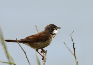 Whitethroat Photo by Su Haselton