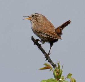 Wren Photo by Su Haselton