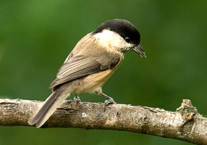 Willow Tit Photo by Su Haselton