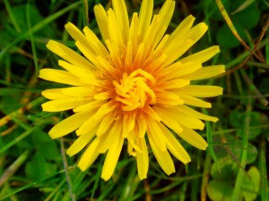 Autumn Hawkbit Photo by Ree Payne