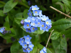 Forget Me Not Photo by Ree Payne