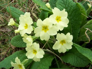 Primrose Photo by Ree Payne