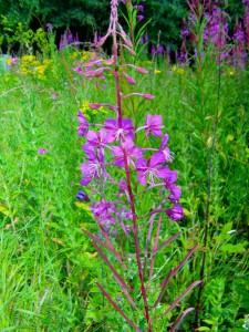 Rosebay  Willowherb Photo by Ree Payne