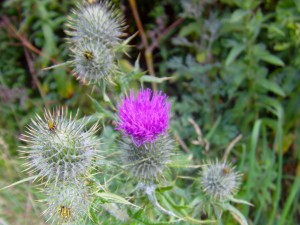 Spear Thistle Photo by Ree Payne