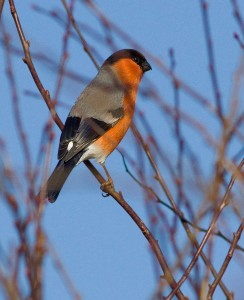 Bullfinch Photo by Mark Walters