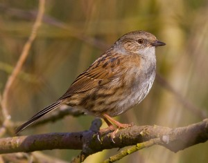 Dunnock Photo by Mark Walters