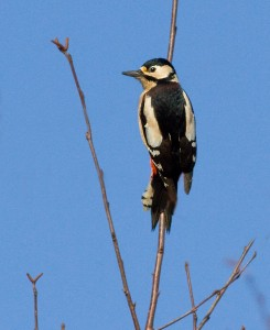 Great Spotted Woodpecker Photo by Mark Walters