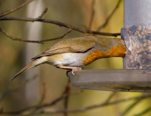 Greedy Robin Photo by Mark Walters