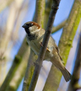 House Sparrow Photo by Mark Walters