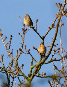 Linnets Photo by Mark Walters