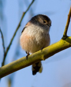 Long tailed tit Photo by Mark Walters