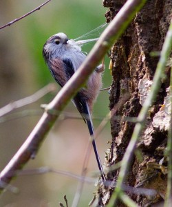 Long Tailed Tit gathering spider silk Photo by Mark Walters