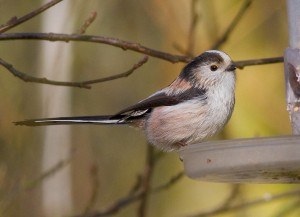 Dainty Long tailed Tit Photo by Mark Walters