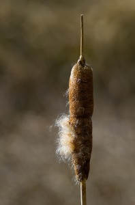 Reed Mace Photo by Mark Walters
