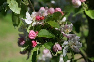 Crab Apple Blossom Photo by Su Haselton
