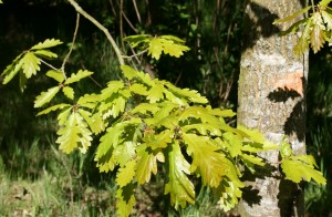 Vibrant New Oak Leaves Photo by Su Haselton