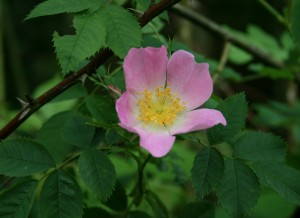 Dog Rose Photo by Su Haselton