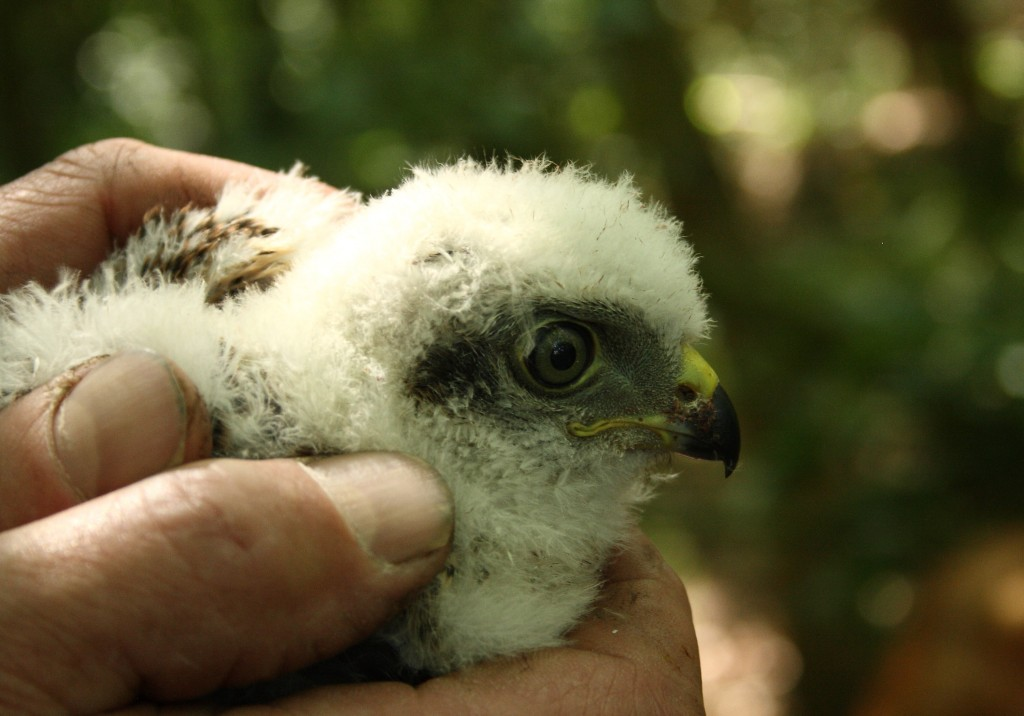Sparrowhawk Chick Photo by Su Haselton