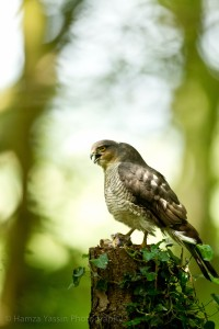 Sparrowhawk with kill Photo by Hamza Yassin
