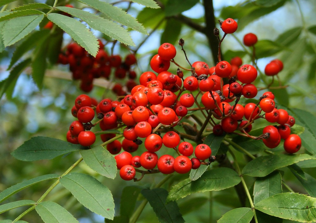 Rowan Berries Photo by Su Haselton