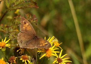 Meadow Brown Photo by Su Haselton