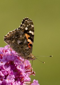 Painted Lady Photo by Su Haselton