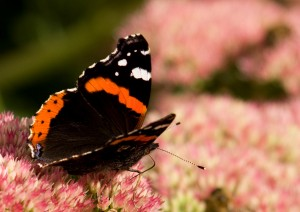 Red Admiral Photo by Su Haselton