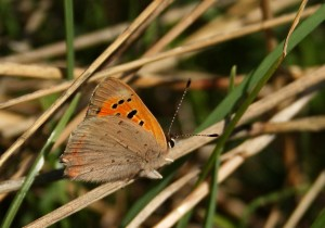Small Copper Photo by Su Haselton