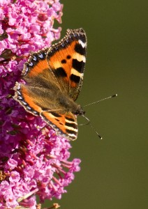 Small Tortoiseshell Photo by Su Haselton