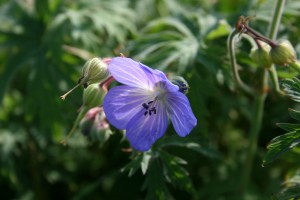 Meadow Cranesbill Photo by Su Haselton