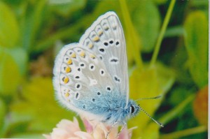 Common Blue butterfly Photo by Paul Melling