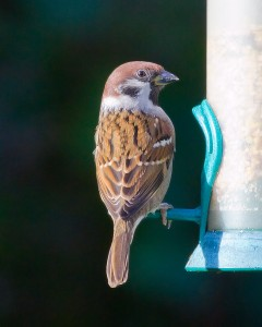 Tree Sparrow Photo By Mark Walters