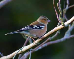 Male Chaffinch Photo By Mark Walters