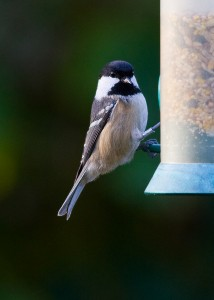Coal Tit Photo By Mark Walters