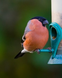 Male Bullfinch Photo By Mark Walters