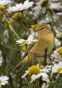 Chiffchaff Photo by Su Haselton