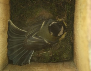 Great Tit on Nest Photo by Su Haselton