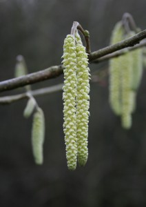 Hazel Catkins Photo by Su Haselton