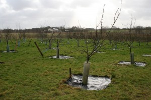 Well Staked 'Winter' Orchard Photo by Su Haselton