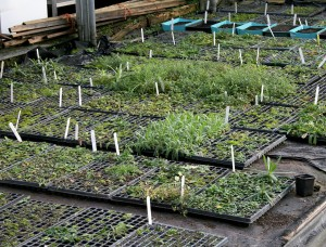 Wildflower seedlings in Polytunnel Photo by Su Haselton