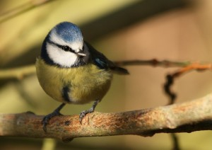 Blue Tit Photo by Su Haselton