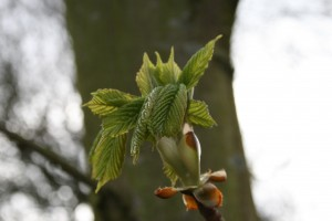 Horse Chestnut Leaf Burst Photo by Su Haselton