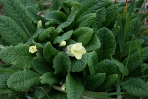 March Primrose Photo by Su Haselton
