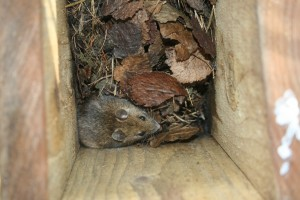 Wood Mouse Photo by Su Haselton