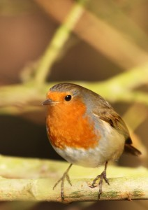 Robin in the sun Photo by Su Haselton
