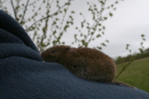 Bank Vole 2 Photo by Su Haselton